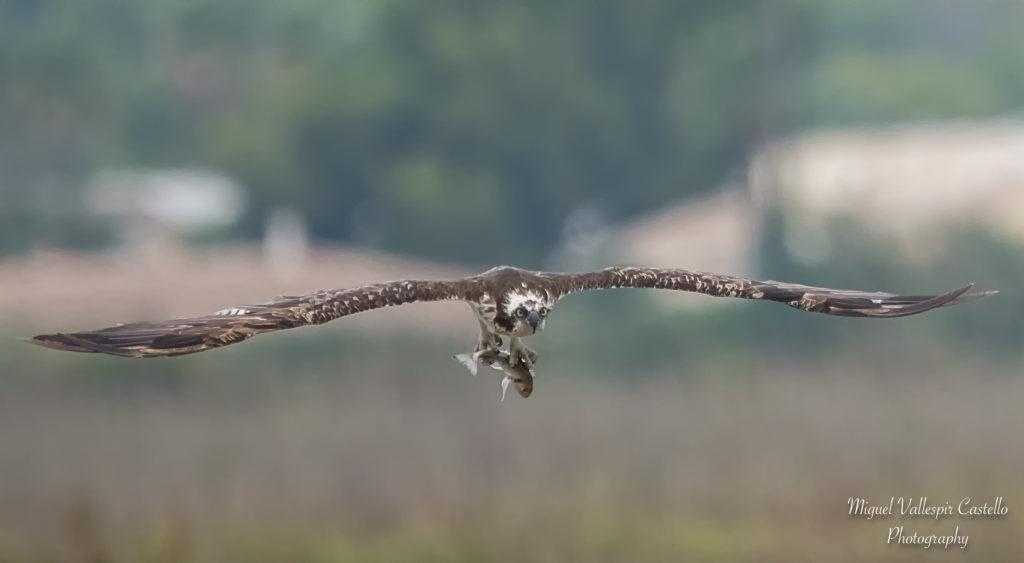 Águila Pescadora en s'Albufera de Mallorca
