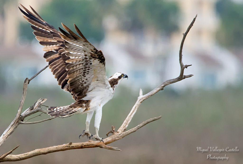 Aguila Pescadora en uno de sus posaderos favoritos