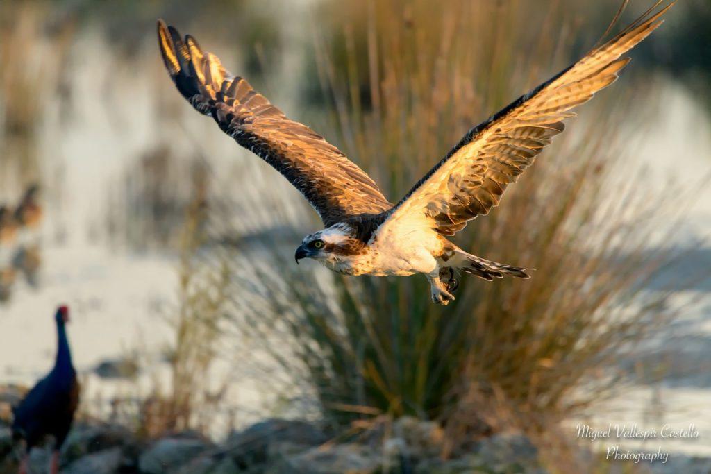 Aguila Pescadora en s'albufera de Mallorca