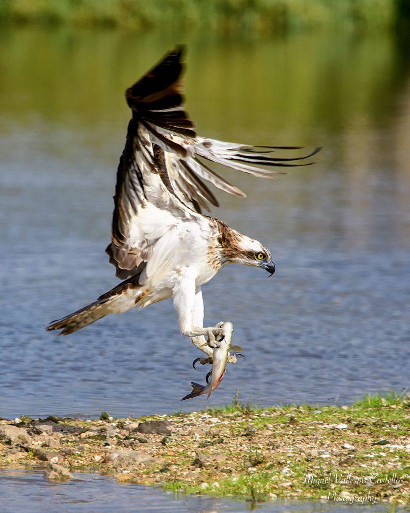 Aguila Pescadora justo despues de pescar