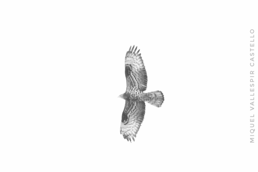 Abejero europeo (Pernis apivorus)