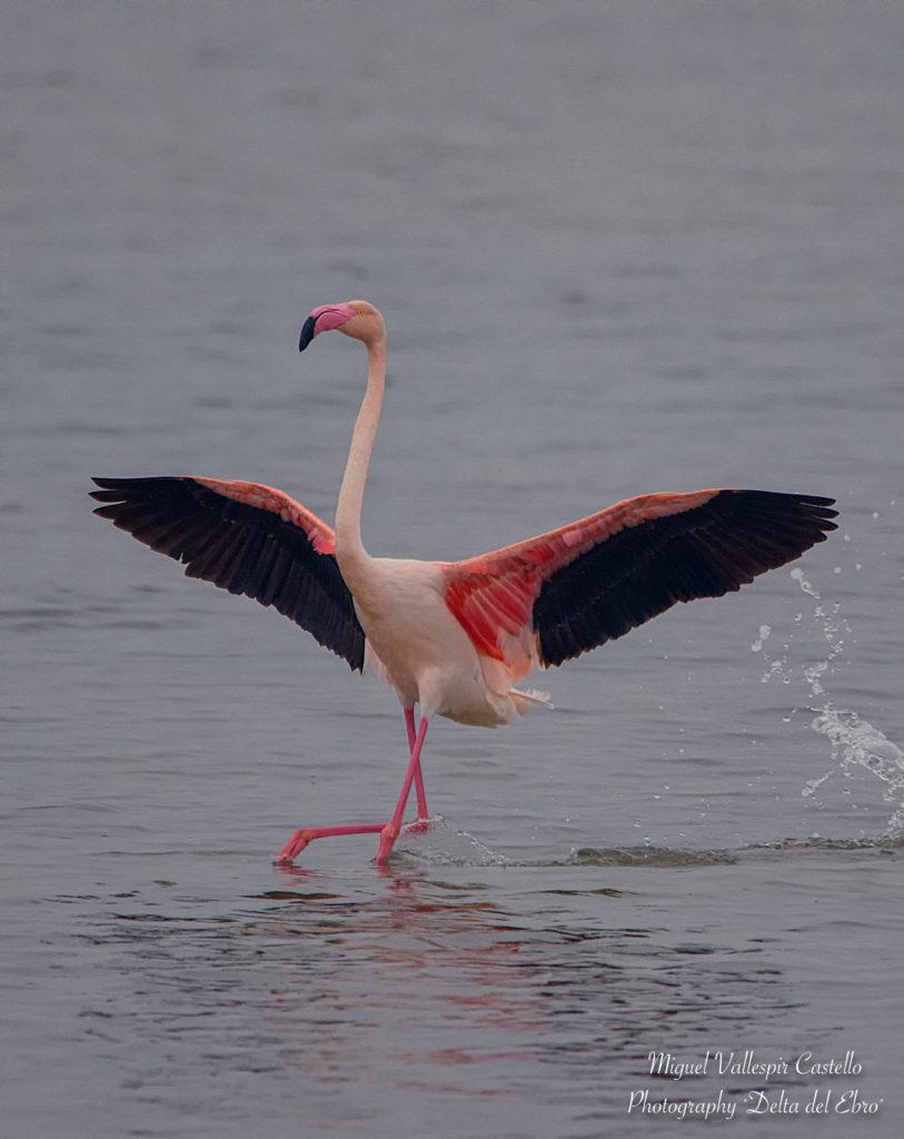 Flamenco común aterrizando.